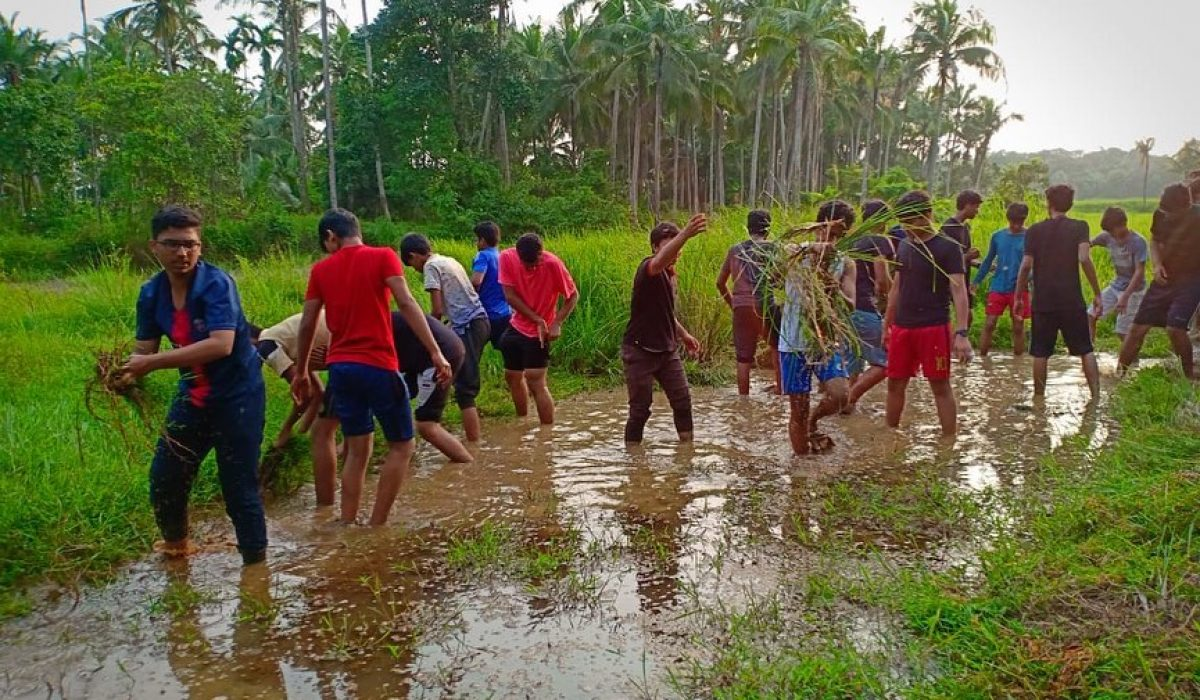 Paddy Field Project (Cultivation of rice)